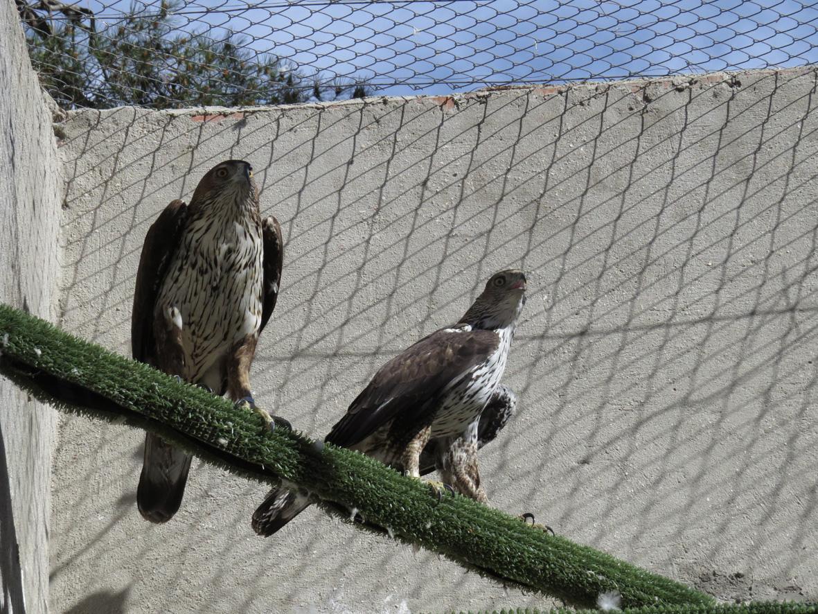 Cuatro águilas de Bonelli son reintroducidas en la Sierra Oeste de Madrid