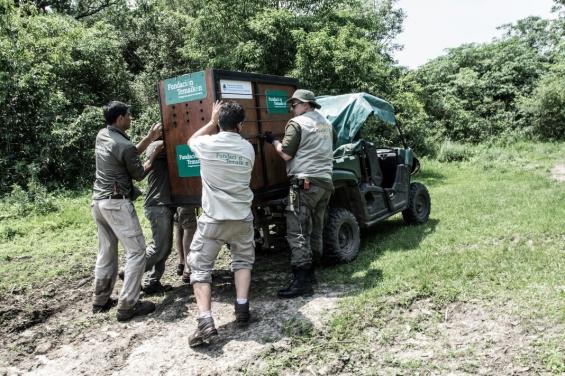 Argentina: Liberaron a una aguará guazú en Corrientes