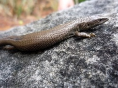 Colombia. Investigadores de la UN están integrando información de algunos reptiles altoandinos a modelos matemáticos