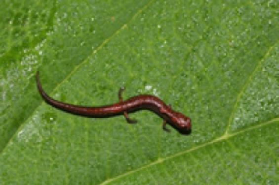 Descubren nuevas especies de salamandra en Oaxaca
