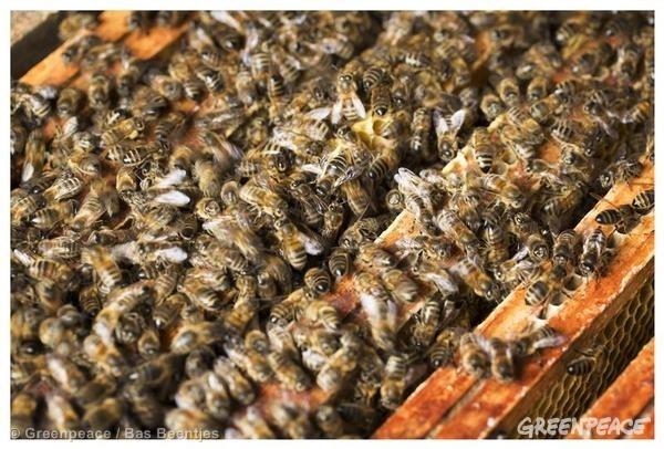 Gran parte del polen europeo recolectado por las abejas está contaminado con un cóctel de plaguicidas tóxicos