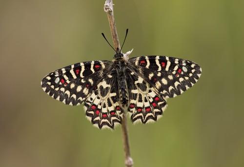 Un tercio de las especies de mariposas de la Península Ibérica podría estar aún sin descubrir