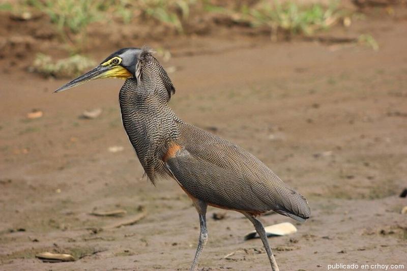 Costa Rica. Hermosas aves engalanan el Tárcoles