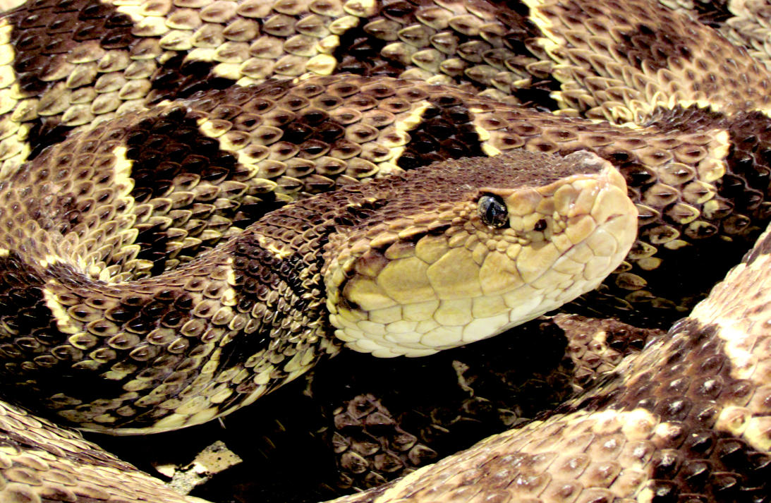 La serpiente 'cuatro narices' y su capacidad de lanzar veneno desde una distancia de 6 pies