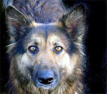 Autorizan disparar contra perros abandonados en Tenerife