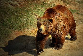 Los osos pardos de Palencia en peligro