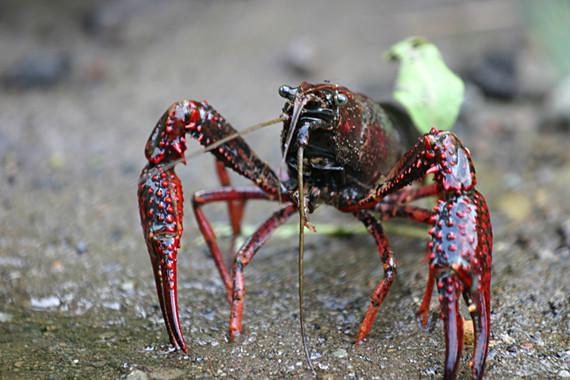 Las olas de calor aumentan el impacto del cangrejo americano en los ríos