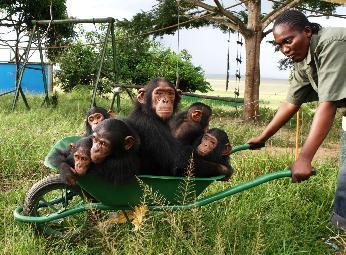 Una chimpancé paralizada por la polio dedica su vida a cuidar de otros chimpancés huérfanos