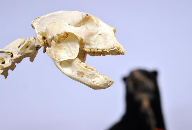 Identifican las características anatómicas del conocido como oso de ...