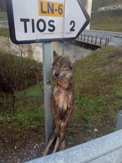 Castilla y León se movilizará en Europa para cambiar la prohibición de cazar lobos