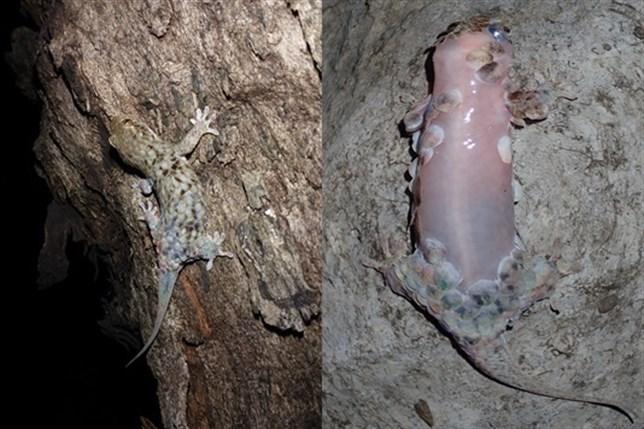 Un lagarto, maestro en 'dejarse la piel' contra los depredadores