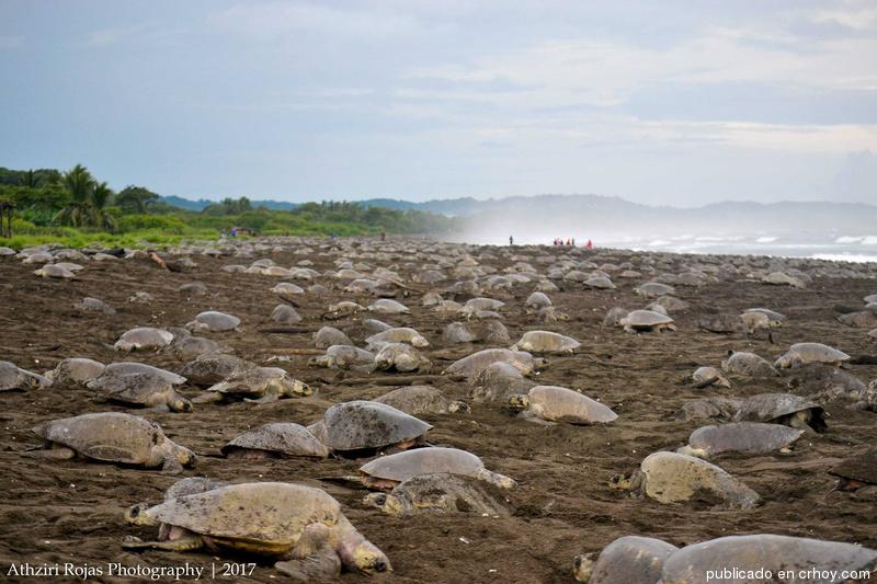 Hermosas imágenes de la arribada de tortugas a Ostional