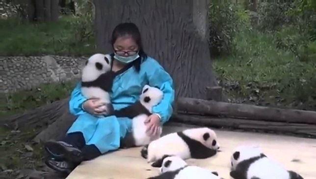 El mejor trabajo del mundo es abrazar osos panda (Vea VIDEO)