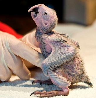 Nace en Tenerife el quinto guacamayo de spix, una especie en peligro de extinción