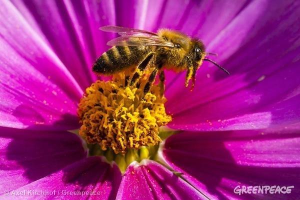 Los neonicotinoides, ¿el principio del fin de las abejas?