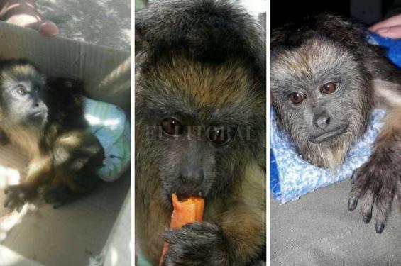 Argentina: Un vecino tenia cautivo a un mono