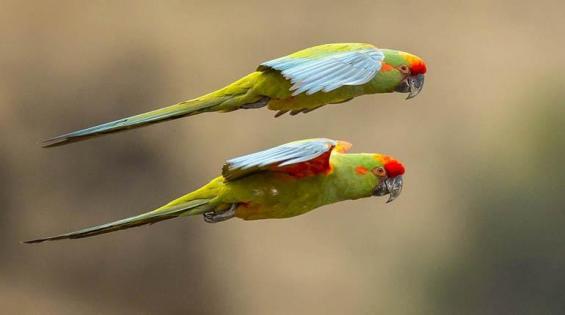 Bolivia. Una guía ilustrada de aves reúne a 1.435 especies