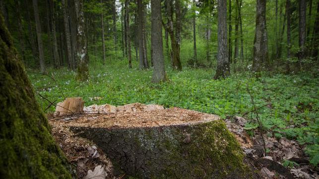 Polonia 'liquida' el bosque de Bialowieza