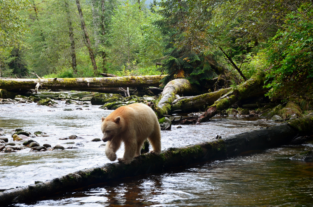 Canadá declara espacio protegido el Bosque del Gran Oso