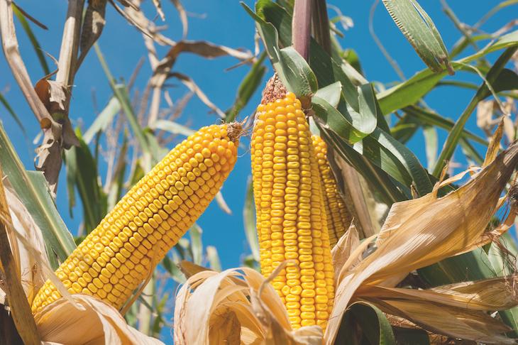 México dice NO al maíz transgénico