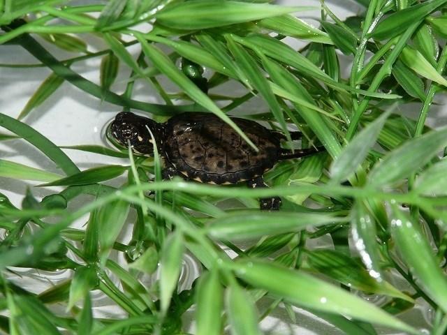 Nacen las primeras crías de galápago europeo en cautividad en el Acuario de Zaragoza