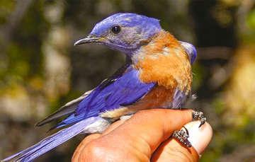 México ofrece avistamiento de hasta mil 96 especies de aves