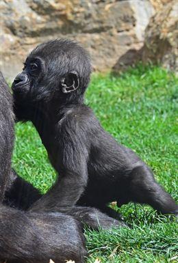 Ebo, el primer gorila valenciano
