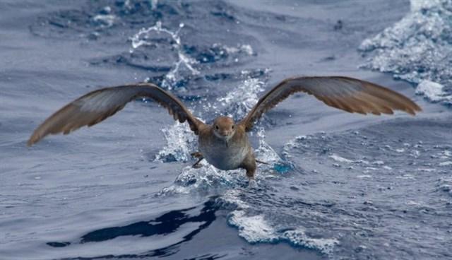 SEO/BirdLife busca soluciones en Nueva Zelanda para la pardela balear en la reunión para conservar la especie amenazada