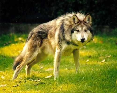 Debate en Suecia por matanza selectiva de lobos