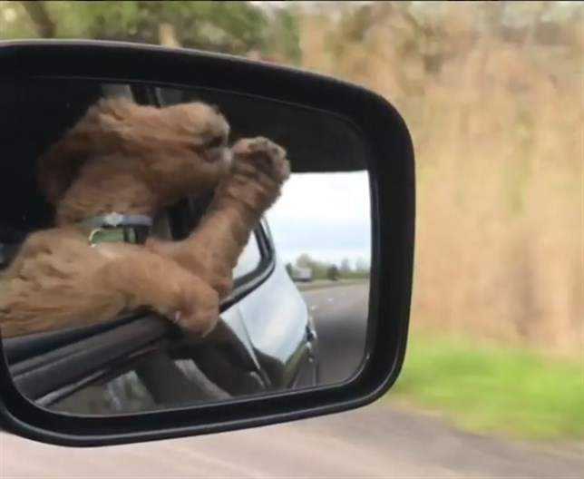 A este perro 'le gusta conducir' y a ti te va a encantar