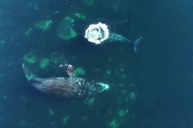 Las ballenas también exfolian su piel, frotándose contra las rocas