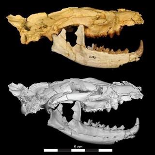 Conoce a Anubis, mamífero carnívoro que vivió hace 34 millones de años