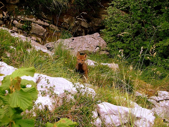 Escándalo mayúsculo, el Gobierno de Asturias extiende el programa para matar lobos a la época de cría