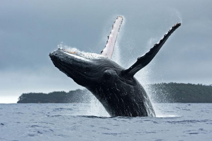 Avistan una ballena jorobada y seis rorcuales frente a las costas de Sagunto (Valencia)