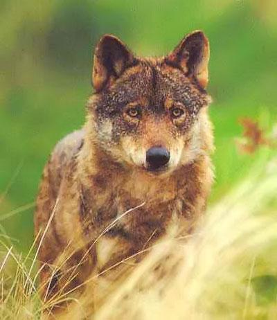 Los tribunales suspenden la caza del lobo ibérico en Castilla y León