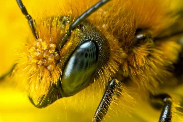 La abeja cruza la línea roja de la 'extinción'