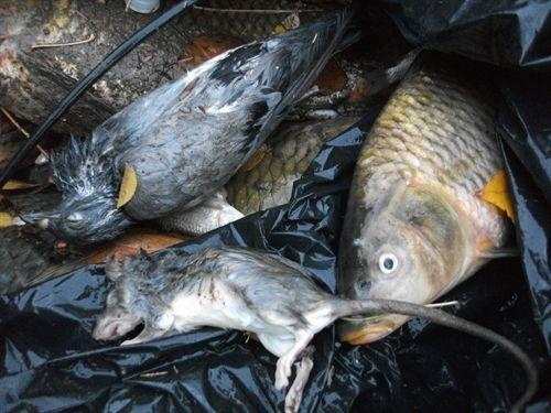 Investigan la aparici n de peces y animales muertos en el for Vivero para peces