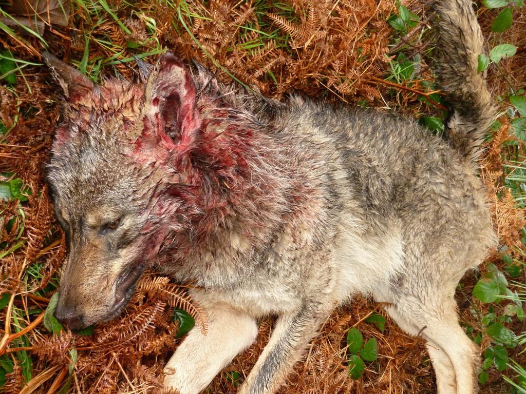 Conservacionistas advierten al Principado de Asturias de que los controles de lobos son ilegales