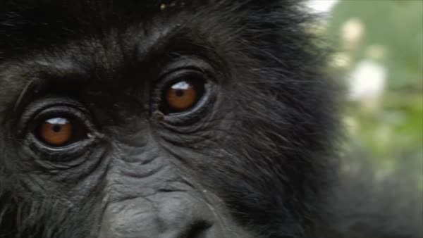 El gorila de Grauer se extingue por la guerra del Coltan