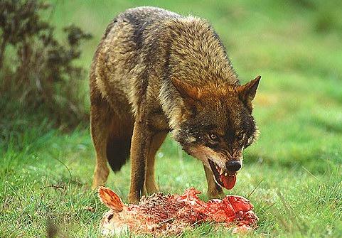 Prohibición de cazar lobo al sur del Duero