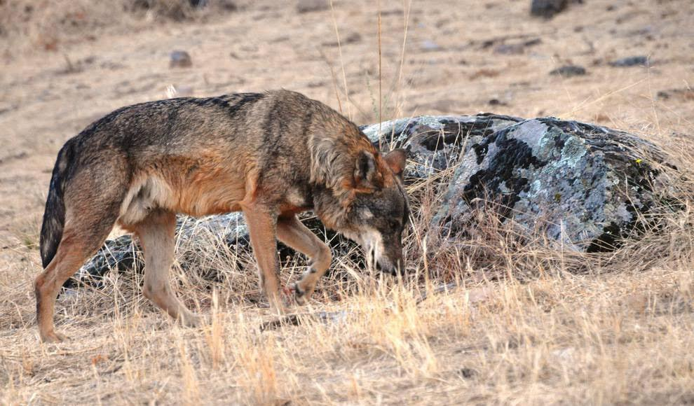 Castilla y León aborda en Bruselas la situación del lobo