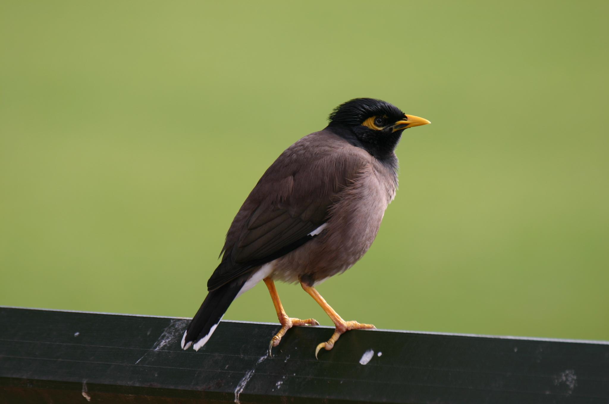 Las aves urbanitas son más valientes y exploradoras que las que viven en entornos naturales