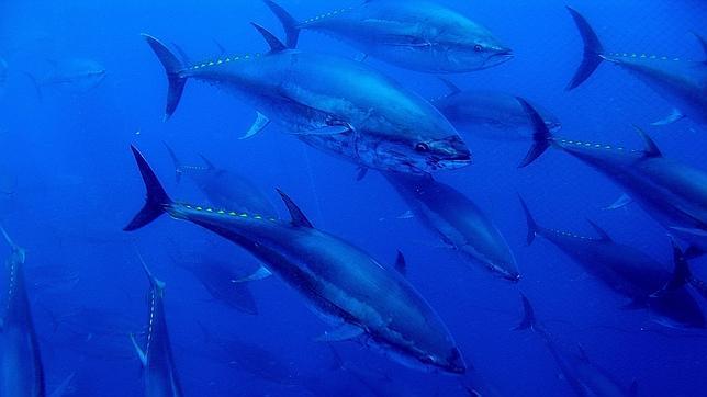 Sondeos sísmicos. Áreas de puesta de atún rojo y caladeros como la anchoa de L'Escala y la langosta de Fornells se verían perjudicados