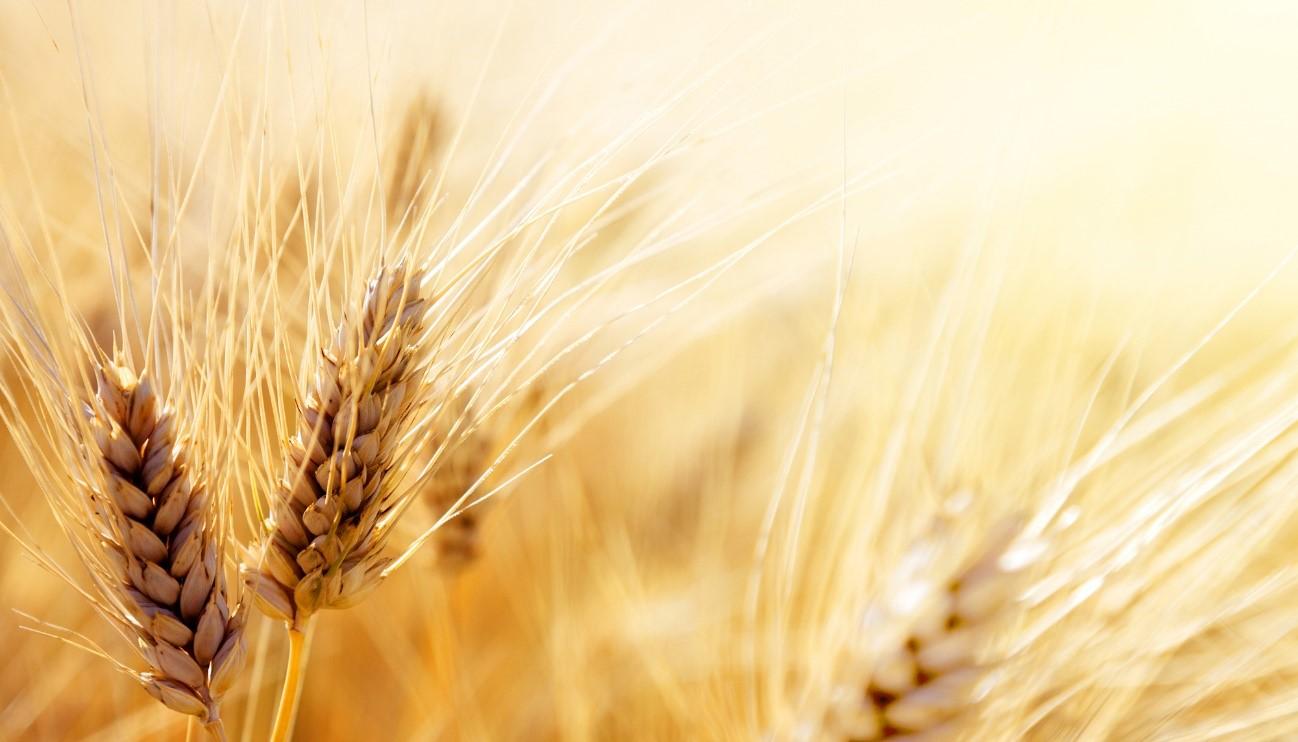 El exceso de CO2 reduce las proteínas de los principales cultivos alimenticios