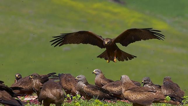 Castilla y León facilita la alimentación de las aves carroñeras