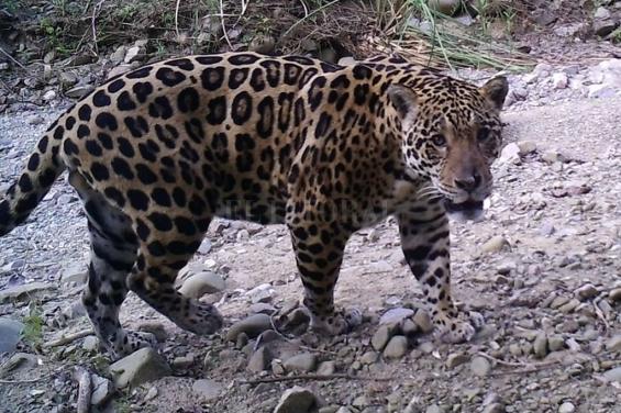 Argentina: Multan a una talabartería por vender una montura hecha con pieles de yaguareté
