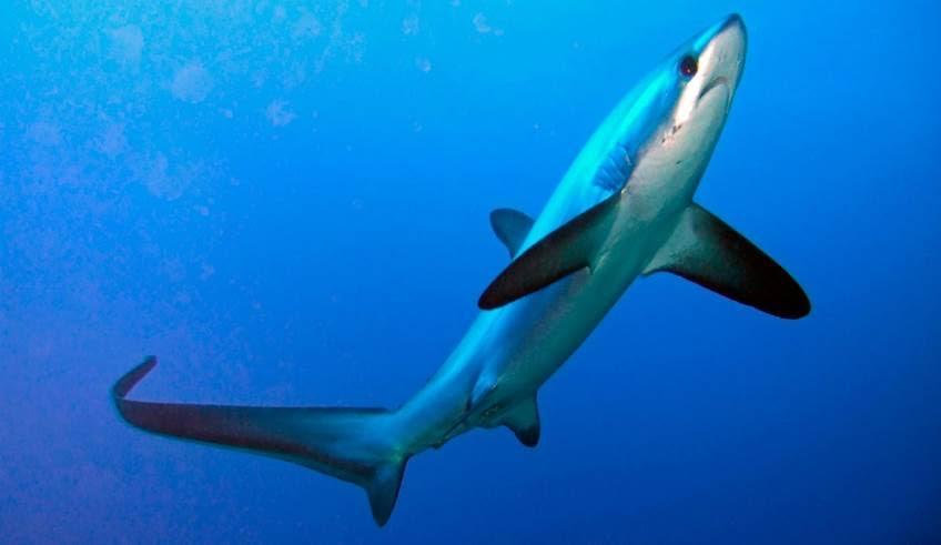 Investigan en Nerja captura y comercio ilegal de un tiburón de especie protegida