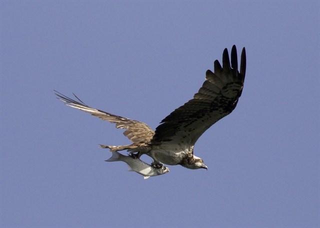 Bizkaia, recuperando el águila pescadora