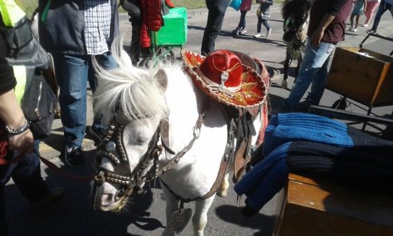 Argentina: La justicia porteña rescató a varios ponys y una llama en el Bajo Flores