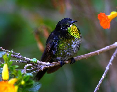 Colombia. Primeras fotografías del colibrí Pico Espina Dorsinegro